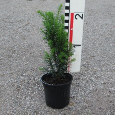 Taxus x media 'Eleganza'