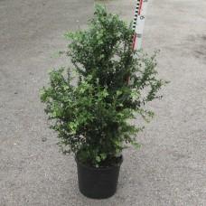 Buxus semp. 'Marginata'