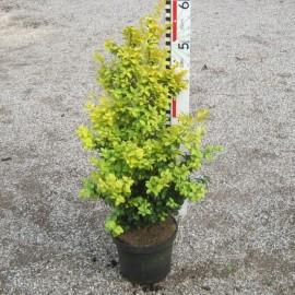 Buxus semp. 'Latifolia Maculata' Angebot