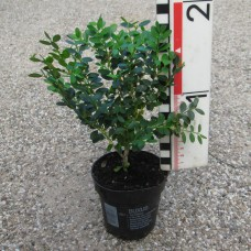 Buxus 'Green Mound'