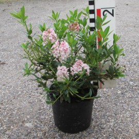 Rhododendron micranthum 'Bloombux'® Angebot