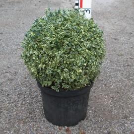 Buxus semp. 'Argenteovariegata'