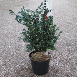 Buxus semp. 'Vardar Valley'