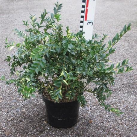 Buxus semp. 'Aurea Pendula'