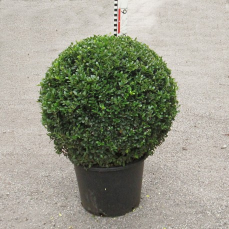 Ilex cren. 'Dark Green®'