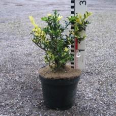 Buxus semp. 'Aurea-Pendula'