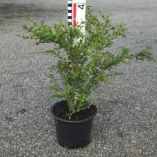 Buxus mic. var. koreana