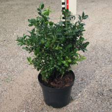 Ilex cren. 'Dark Star'®