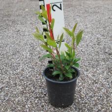 'Ostbo Red' Kalmia latifolia