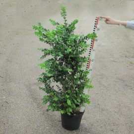 Buxus semp. 'Rotundifolia' Angebot