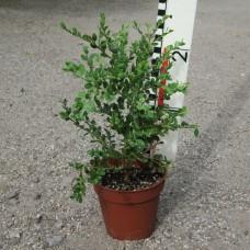 Buxus mic. var. japonica