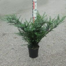 Taxus baccata 'Renkes Kleiner Grüner'®
