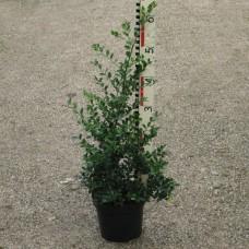 Ilex cren. 'Green Hedge'