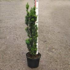 Taxus fastigiata Robusta