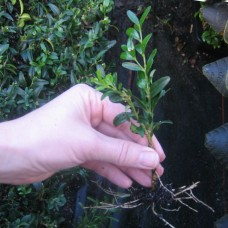 Buxus semp. 'Myrtifolia'