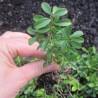 Buxus microphylla 'Herrenhausen'