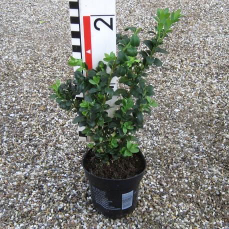 Buxus semp. 'Handworthiensis'