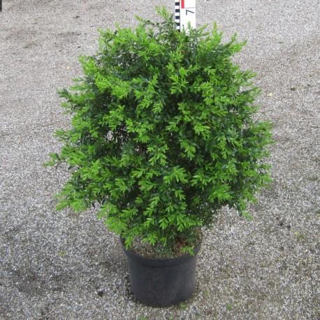 Buxus semp. 'Angustifolia'