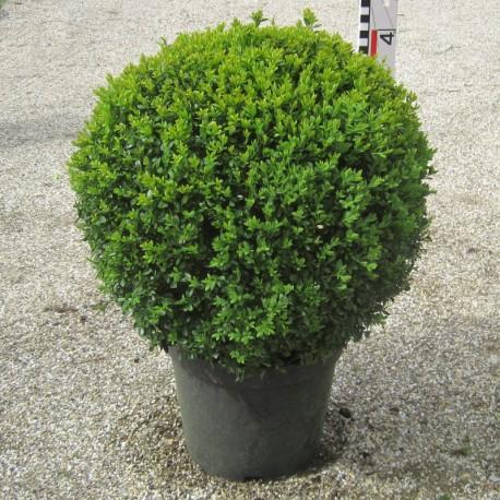 Buxus 'Green Gem'