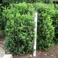 Buxus semp. 'Hollandia'