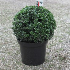 Ilex cren. 'Dark Green'