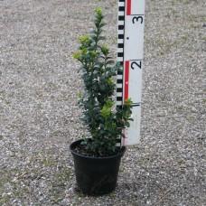 Buxus sempervirens 'Handworthiensis'