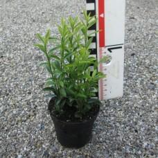 Euonymus jap. micro. 'Aurovariegatus'
