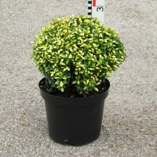 Ilex cren. 'Golden Gem'