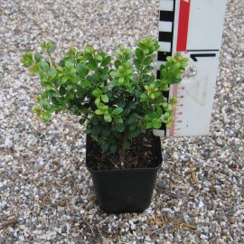Ilex cren. 'Glory Gem'