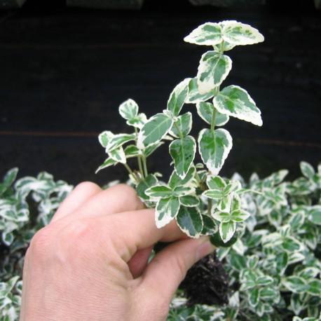 Euonymus fortunei 'Emerald Gaiety'