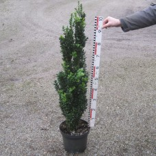 Buxus semp. 'Graham Blandy'