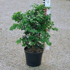 Buxus mic. 'Schopes' Angebot