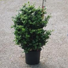 Buxus semp. 'Latifolia Maculata'