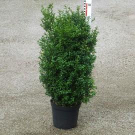 Buxus semp. arborescens