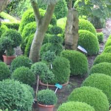 arborescens Buxus sempervirens