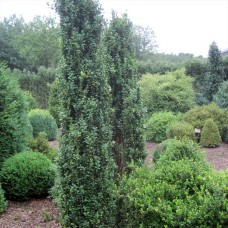 'Graham Blandy' Buxus sempervirens