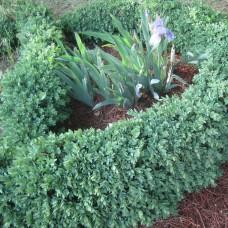 'Blauer Heinz' Buxus sempervirens