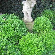 'Faulkner' Buxus microphylla