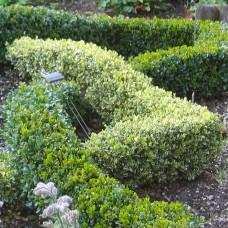 'Argenteovariegata' Buxus sempervirens