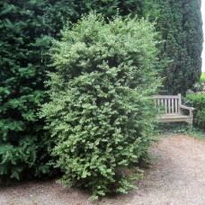 'Marginata' Buxus sempervirens