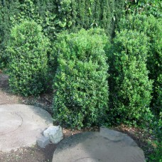 'Hollandia' Buxus sempervirens