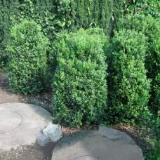 'Hollandia' Buxus sempervirens