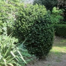 'Rotundifolia' Buxus sempervirens