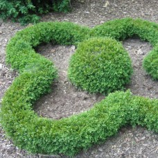 'Green Gem' Buxus