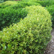 'Golden Dream' Buxus microphylla