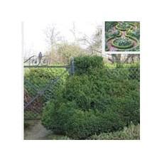 'Suffruticosa' Buxus sempervirens