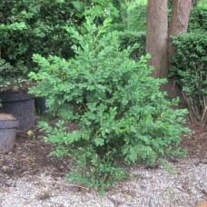 'Green Mound' Buxus