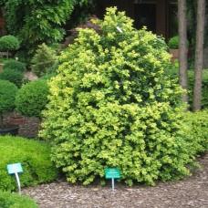 'Latifolia Maculata' Buxus sempervirens