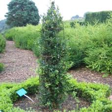 'Raket' Buxus sempervirens