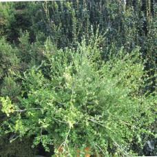 'Trompenburg' Buxus microphylla